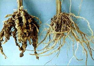 Nematode root damage
