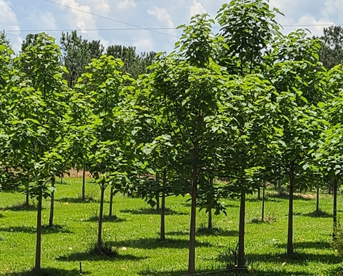 Empress Splendor trees